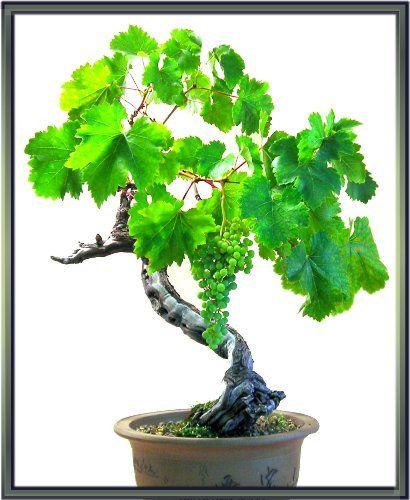 grape bonsai grape garden pinterest. Black Bedroom Furniture Sets. Home Design Ideas