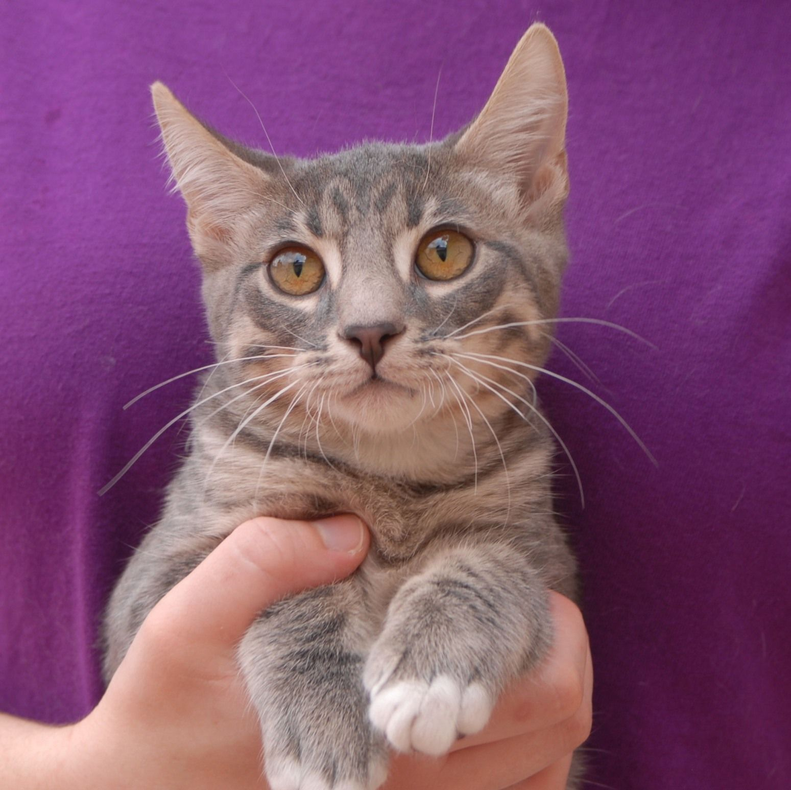 Jerry Amazed His Foster Parents By Playing Perfect Games Of Fetch Bringing The Mouse Toy Back To Them Each Time Silver Tabby Kitten Cat Adoption Tabby Kitten