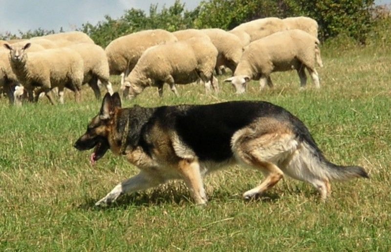 How Bout That A Shepherd Herding Sheep Who Would Think German