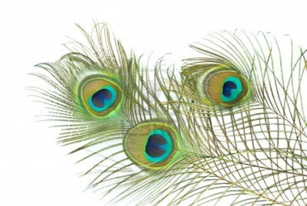 White Peacock Feather Wallpapers