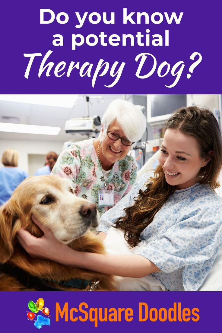 Visit McSquare Doodles to learn more about therapy dogs