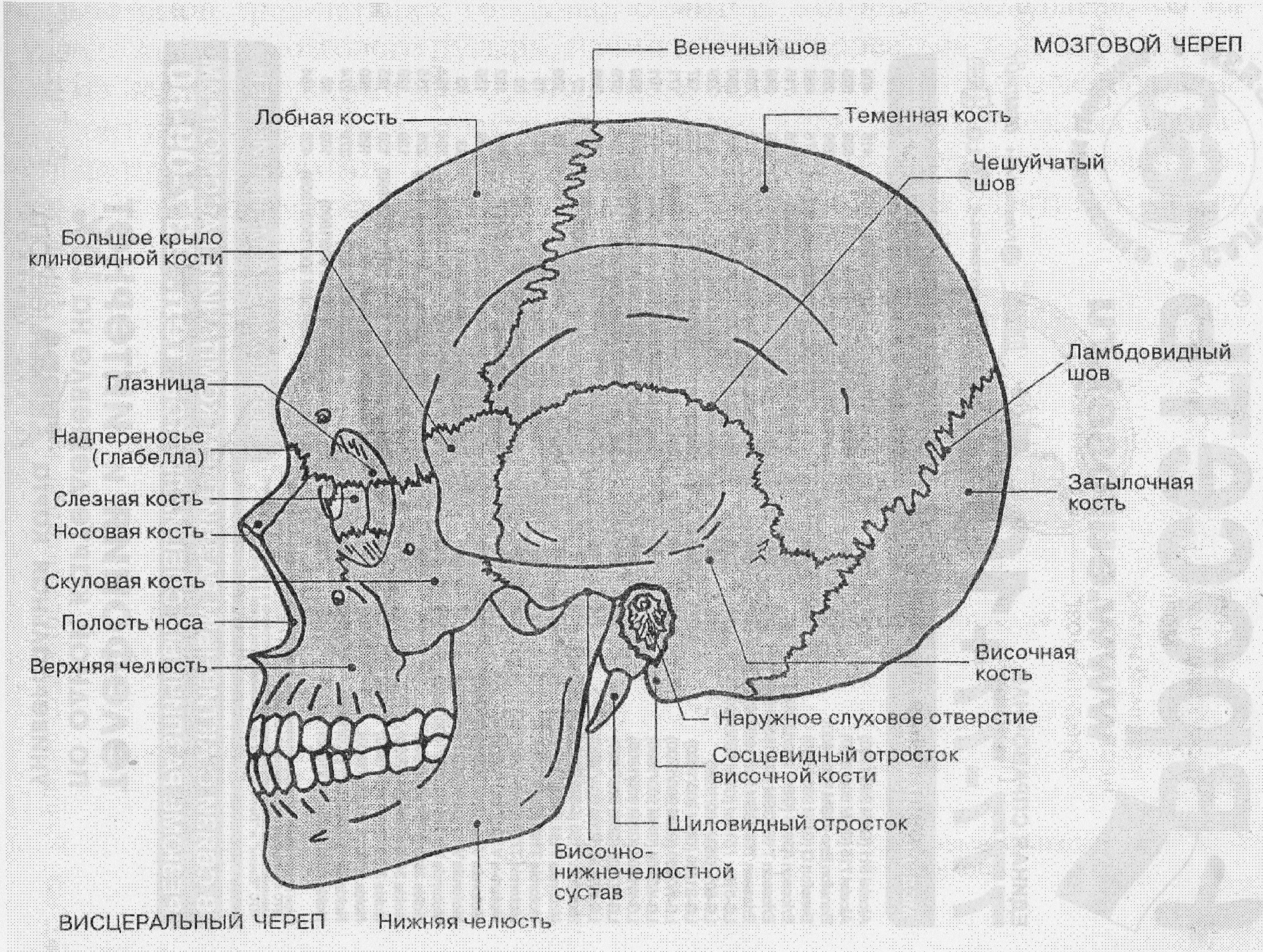 строение черепа человека фото с описанием гимнастика для детей