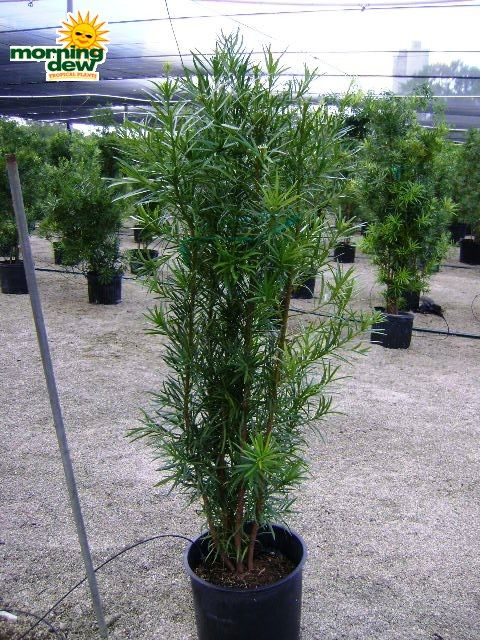 Morning Dew Tropical Plants Top Quality From Florida S Finest Growers Podocarpus