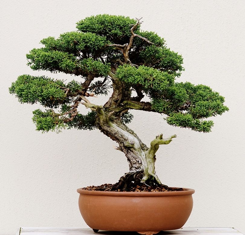 Grow trees from seed as Bonsai cultivation technique in