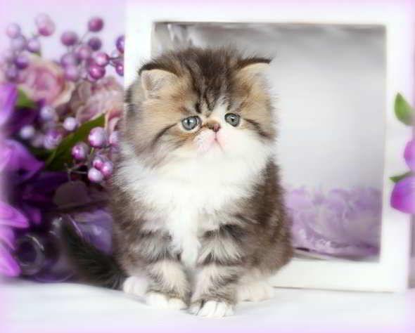 Foto Kucing Persia Tea Cup Lucu Kucing Persia Kucing Persia