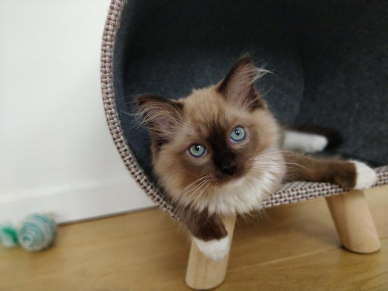 Mr Shelby Ragdoll Kitten Of The Month Floppycats In 2020 Ragdoll Kitten Ragdoll Cats For Sale Ragdoll Kittens For Sale