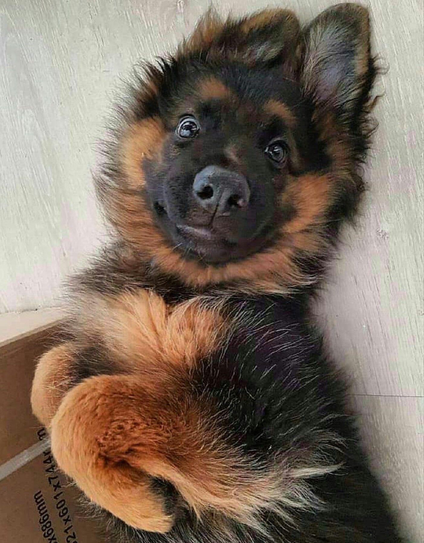 Baby german shepherd puppy cute dogs shepherd puppies