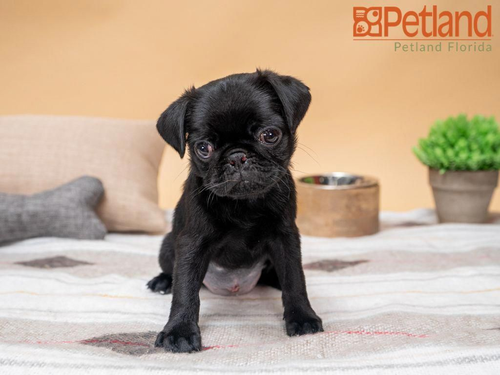 Find Out Additional Relevant Information On Pug Puppies Check