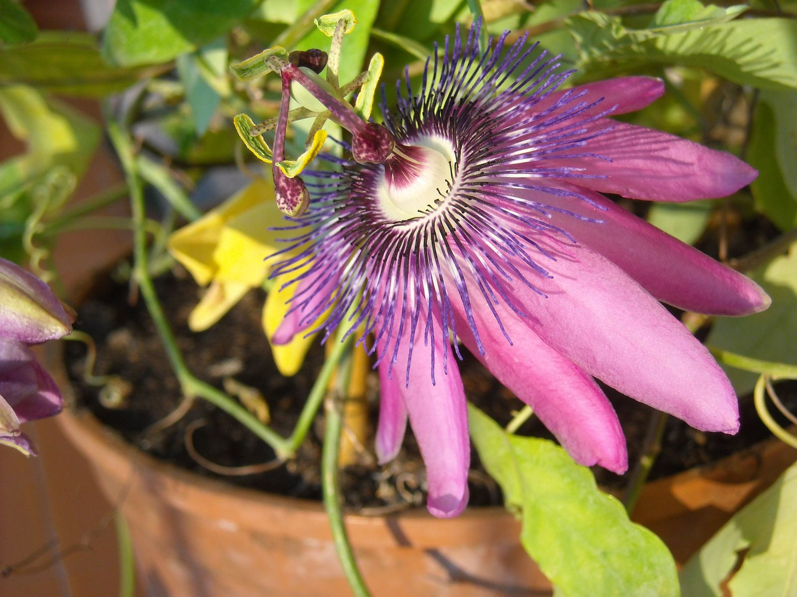 Because They Cannot Survive Winters Outside Zone 6 Many People Choose To Grow Passion Fruit Vines In Pots Passion Flower Passion Fruit Plant Container Flowers