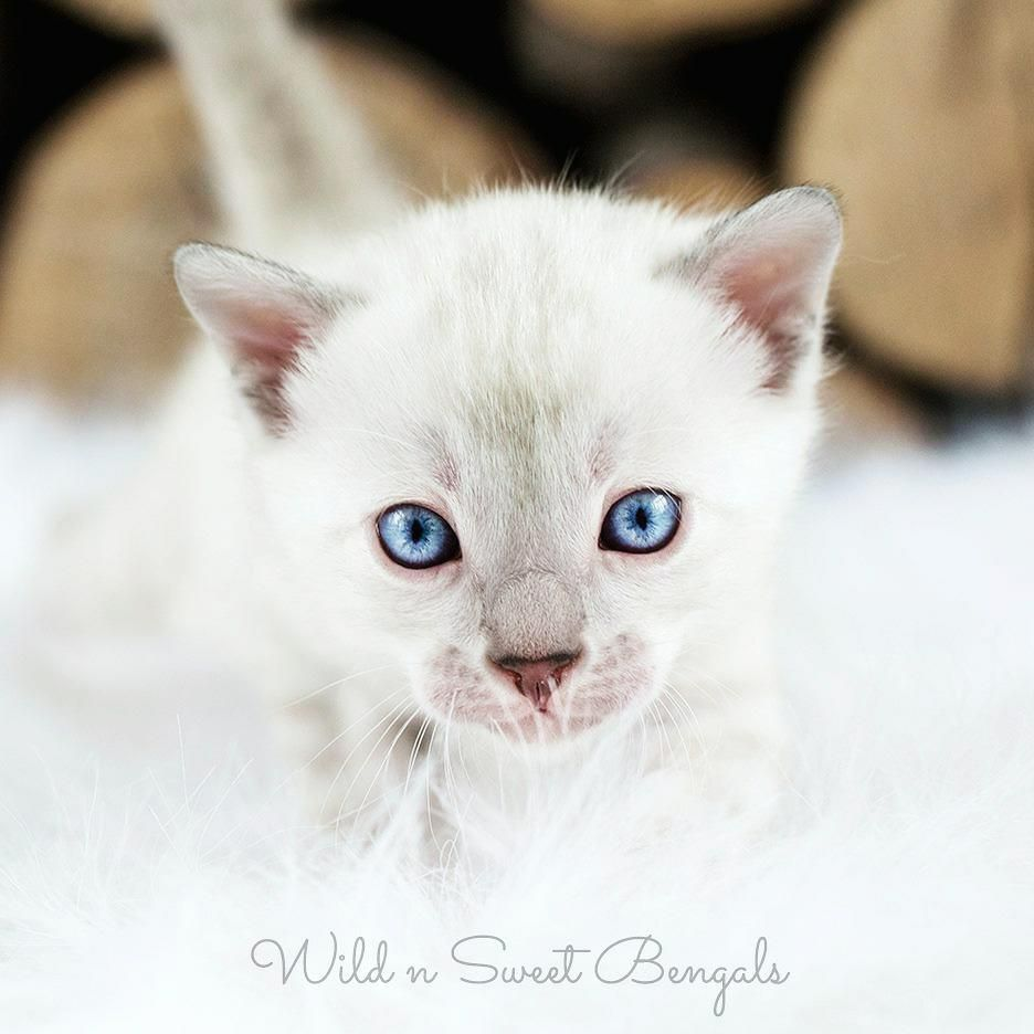Amazing Silver Snow Bengal Kitten From Wild N Sweet Bengals Cattery More Pic Of Our Beautiful Bengal Cats And Kit Bengal Kitten Bengal Cat Bengal Cat Breeders
