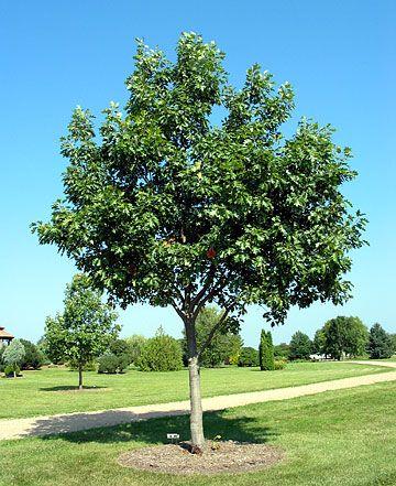 Young Oak Best Shade Trees Shade Garden Shade Trees