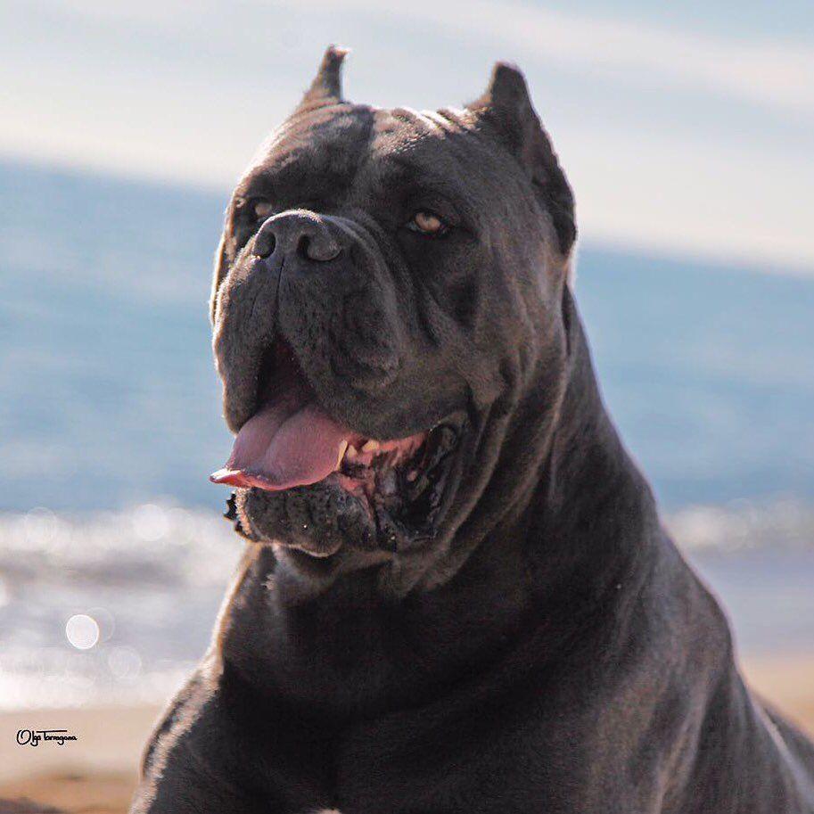 𝐉𝐔𝐀𝐍𝐌𝐀 𝐌𝐎𝐑𝐀𝐓𝐎 X Man Barcelona On Instagram My Favorite Boy Canecorsojuanmamorato Canecorso Corso Dog Cane Corso Dog Cane Corso