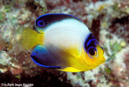 Multicolor Angelfish Saltwater Fish Tanks Marine Aquarium Fish Marine Fish
