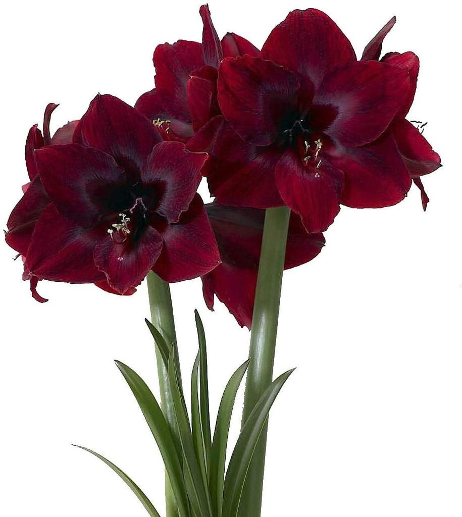 Black Pearl Giant Dutch Amaryllis New Color 26 28cm Large Bulb Amaryllis Bulbs Bulb Flowers Amaryllis Flowers