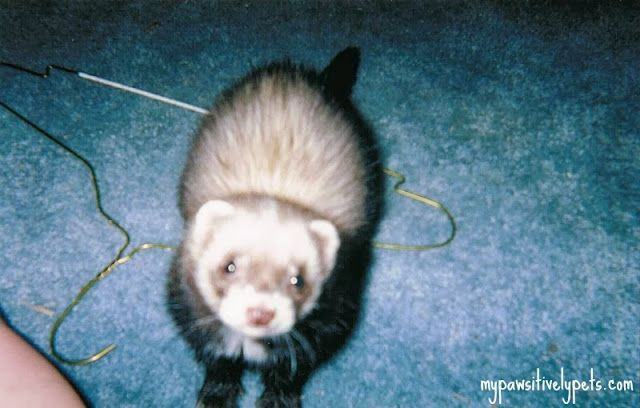 Ferret Friday Ferret Pets Past
