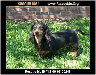 Raven Louisiana Dachshund Rescue Adoptions Rescueme Org