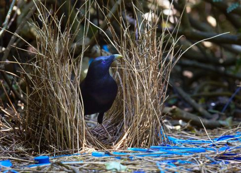 Satin Bowerbird (Ptilonorhynchus violaceus) male tends his bower decorated to attract females, Bunya Mountains National Park, south Queensland, Australia