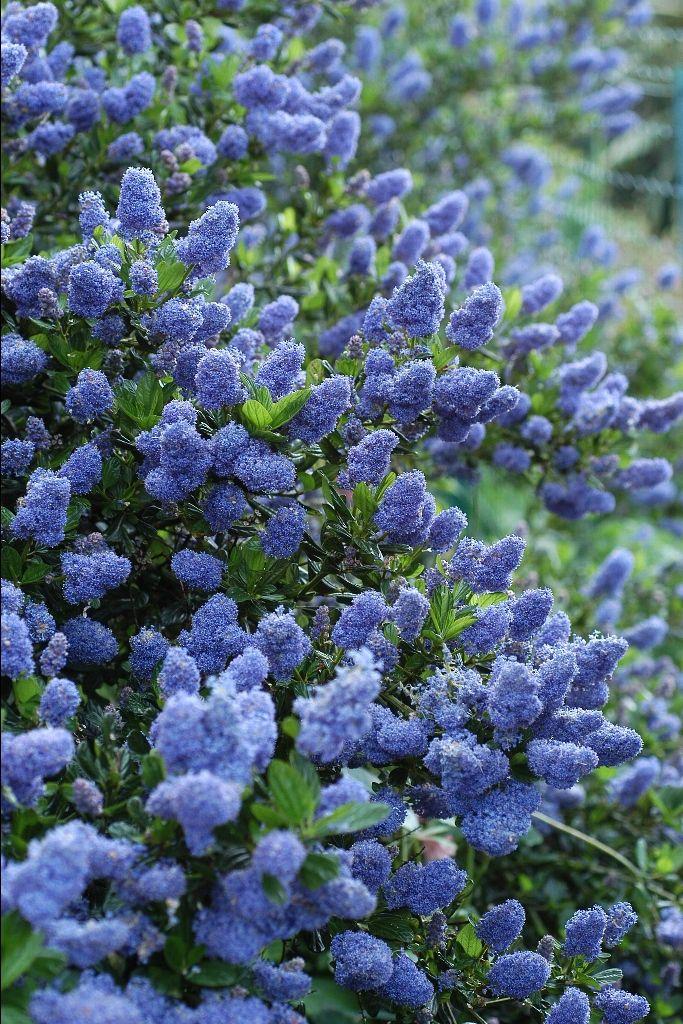Ceanothus thyrsiflorus 39 skylark 39 evergreen opt 1 for Flowering landscape bushes