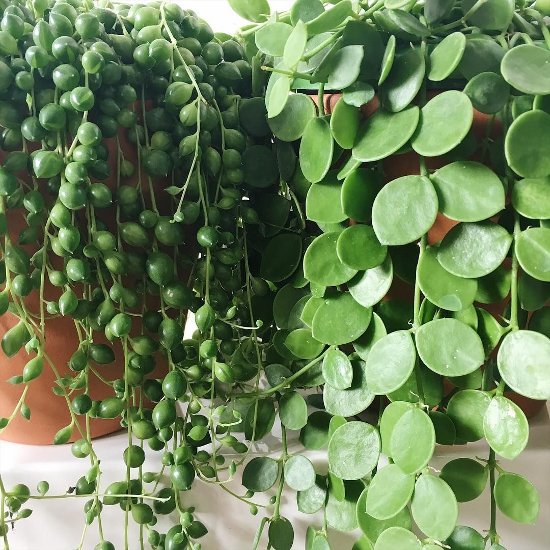 String of banana plant propagation - String Of Pearls String Of Nickels