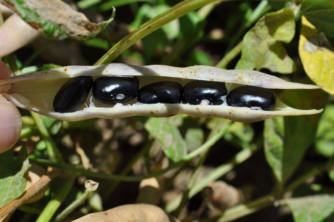 Hopi Black Bean Phaseolus Vulgaris Black Beans Beans Bush Beans