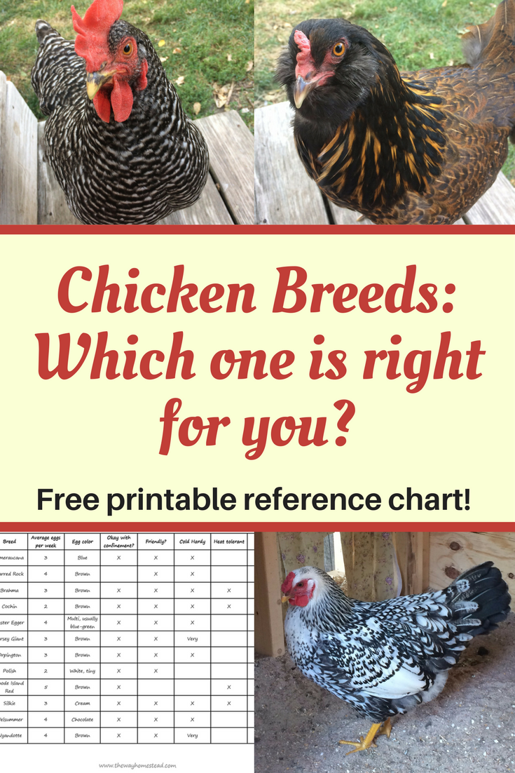chicken breeds which one is right for you chicken breeds