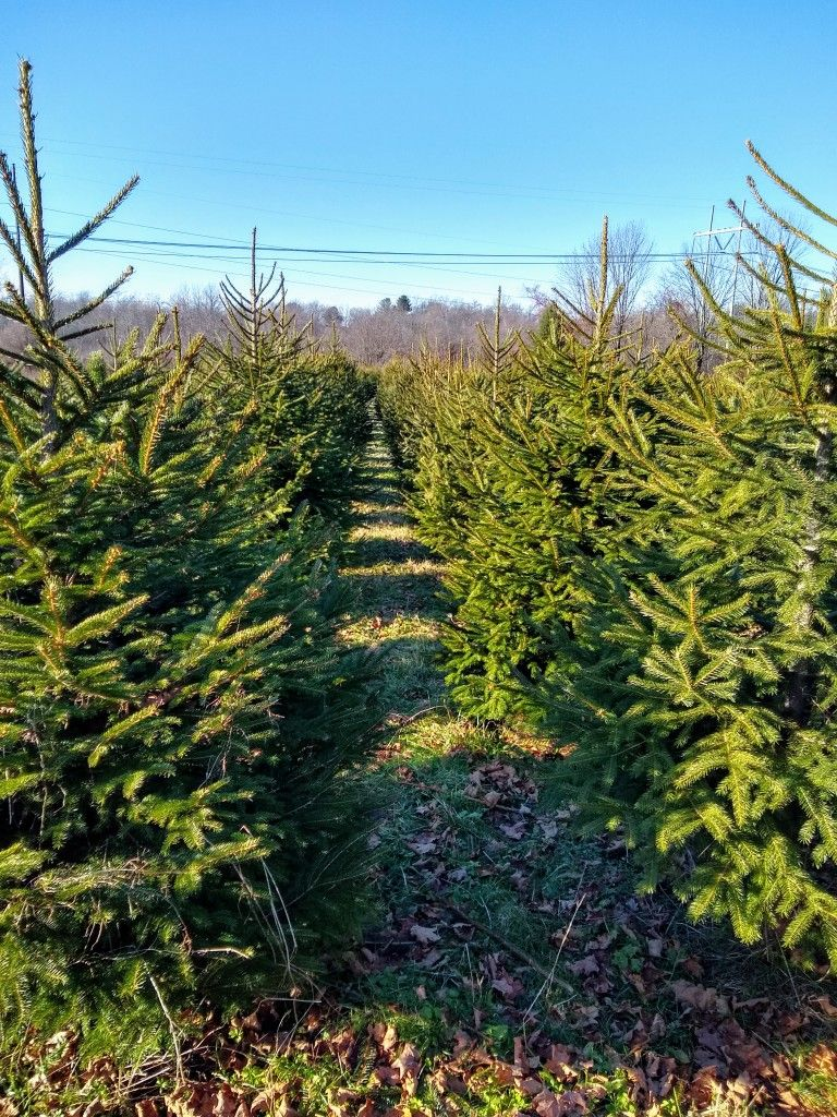Pin By David Jay Seaton On West Newbury Ma Photography Christmas Tree Farm Tree Farms Plants