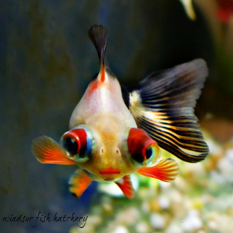 Windsor Fish Hatchery Online Fish Goldfish Fish Hatchery