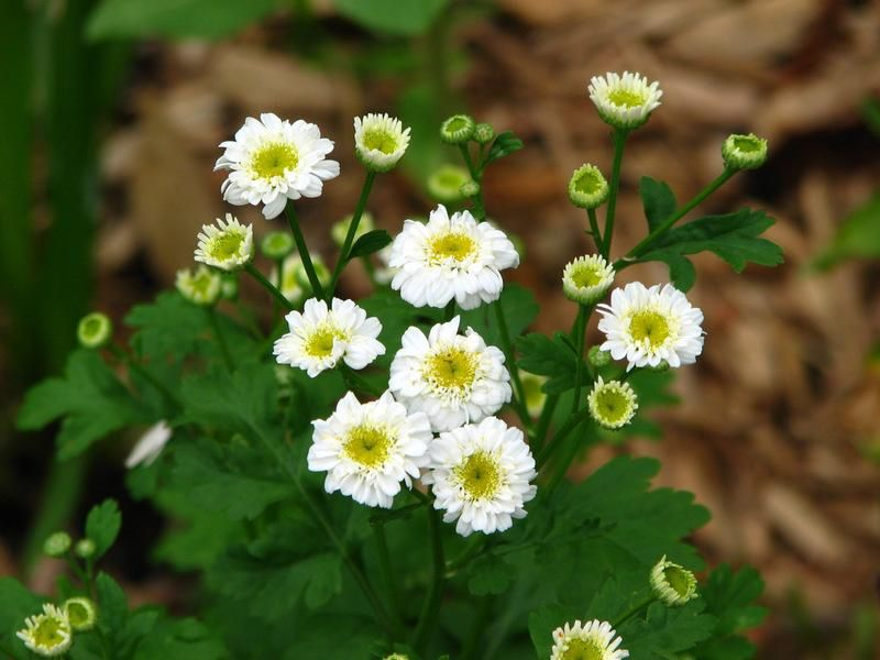 Feverfew Tanacetum Parthenium Flore Pleno I Started Seeds Feb 2017 Then Transplanted In A Pot April 10 Tbb Thanks Molic Feverfew Flores Plants