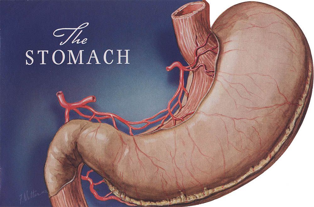 the stomach medical in 2019 anatomy art, anatomy drawing  stomach diagram netter's #6