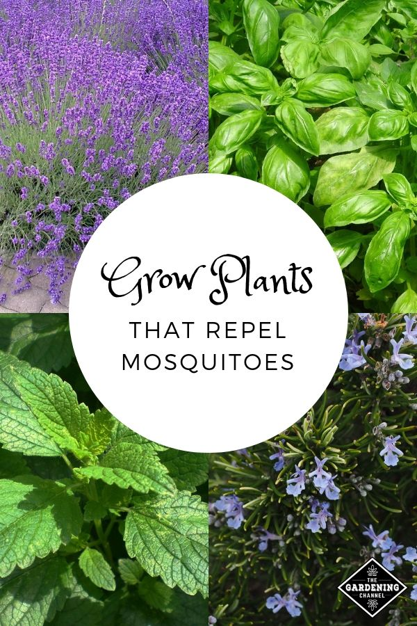 If You Want to Repel Mosquitoes, Start Growing These Plants in Your Backyard #mosquitoplants