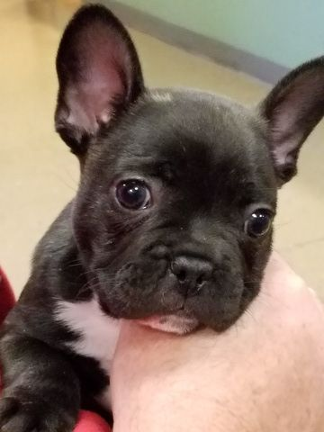 French Bulldog Puppy For Sale In League City Tx Adn 30010 On Puppyfinder Com Gender Male Age 16 Weeks Old Bulldog Puppies For Sale Bulldog Puppies Puppies