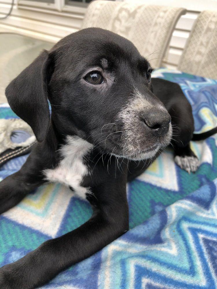 Adopt Vera on Dogs, Adoption, Labrador retriever