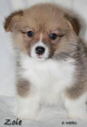 Noble Hearts Pembroke Welsh Corgi Breeder Puppies For Sale Pembroke Welsh Corgi Corgi Corgi Breeders