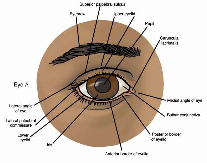 The Line Of Reflection Is Also Found Between The Eyeball And The Upper Eyelid Superior Conjunctival Best Eye Drops Subcutaneous Tissue Facial Plastic Surgery