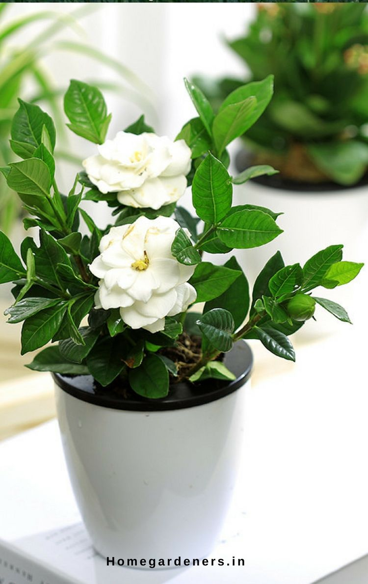 Gardenia Plant How To Care For Gardenia Plant At Home And Garden