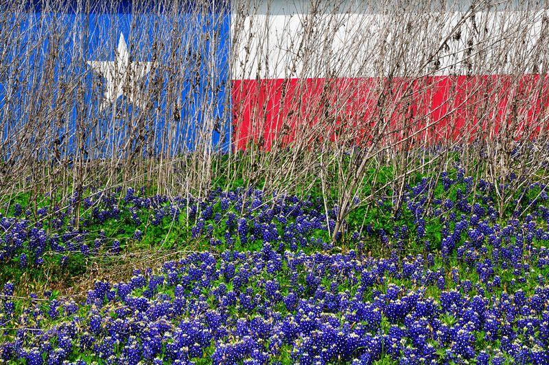 Texas Flag Wild Flower Texas Flag Bluebonnets Chapel Hill Tx Brenham Texas Sponsored Flower Bluebonnets In 2020 Texas Flags Blue Bonnets Texas Bluebonnets