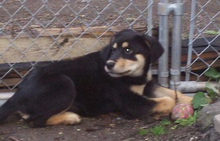 Rottweiler Mix With Border Collie Rottweiler Mix Rottweiler Dog