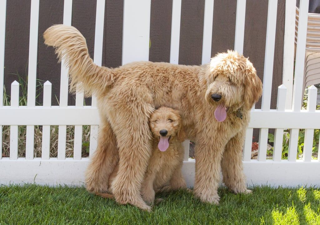 """40+ Cute Goldendoodles That Will Have You Saying, """"It's So"""