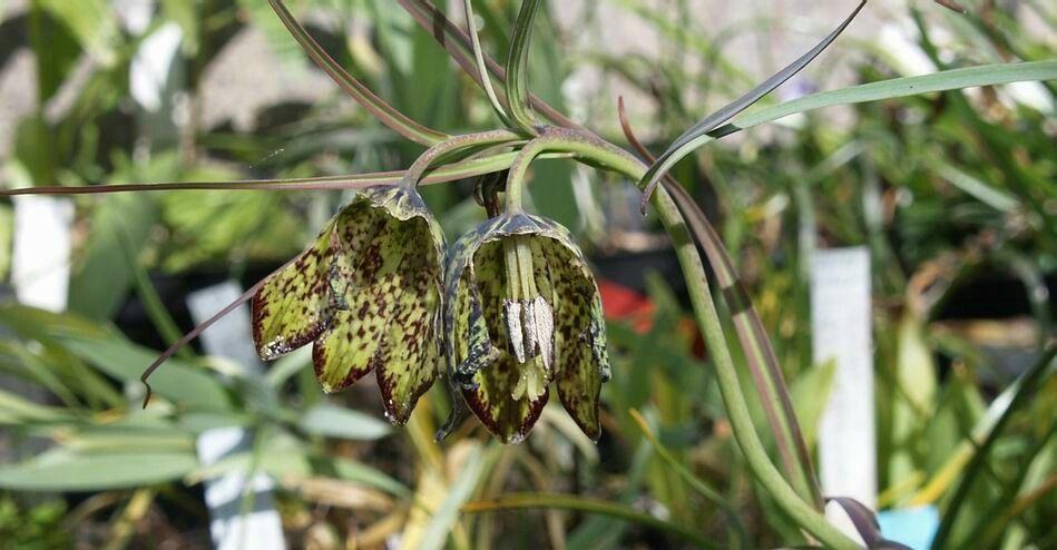 Fritillaria cirrhosa