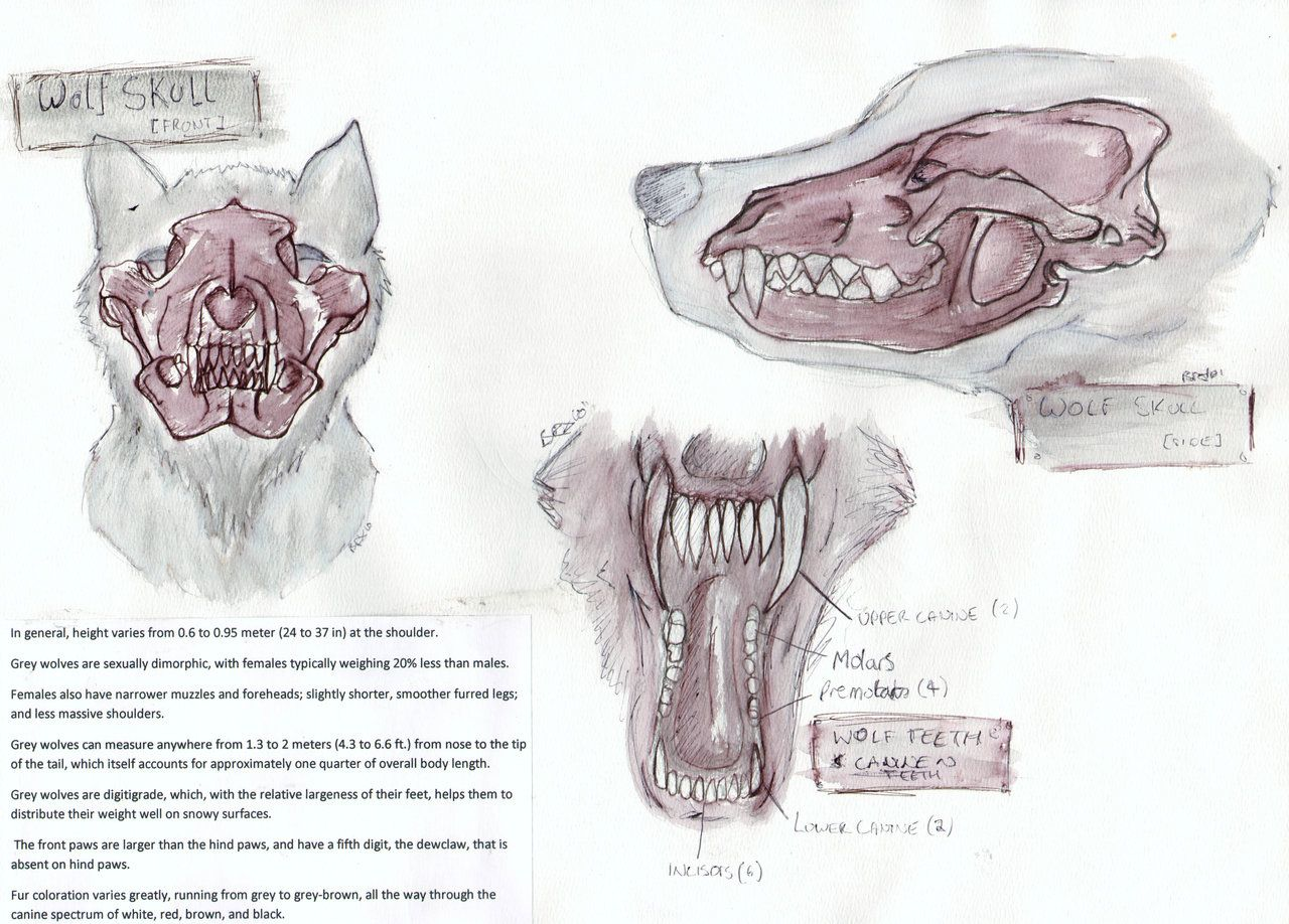 Wolf Anatomy: Skull: Teeth by Tebyx on DeviantArt | Wolves ...