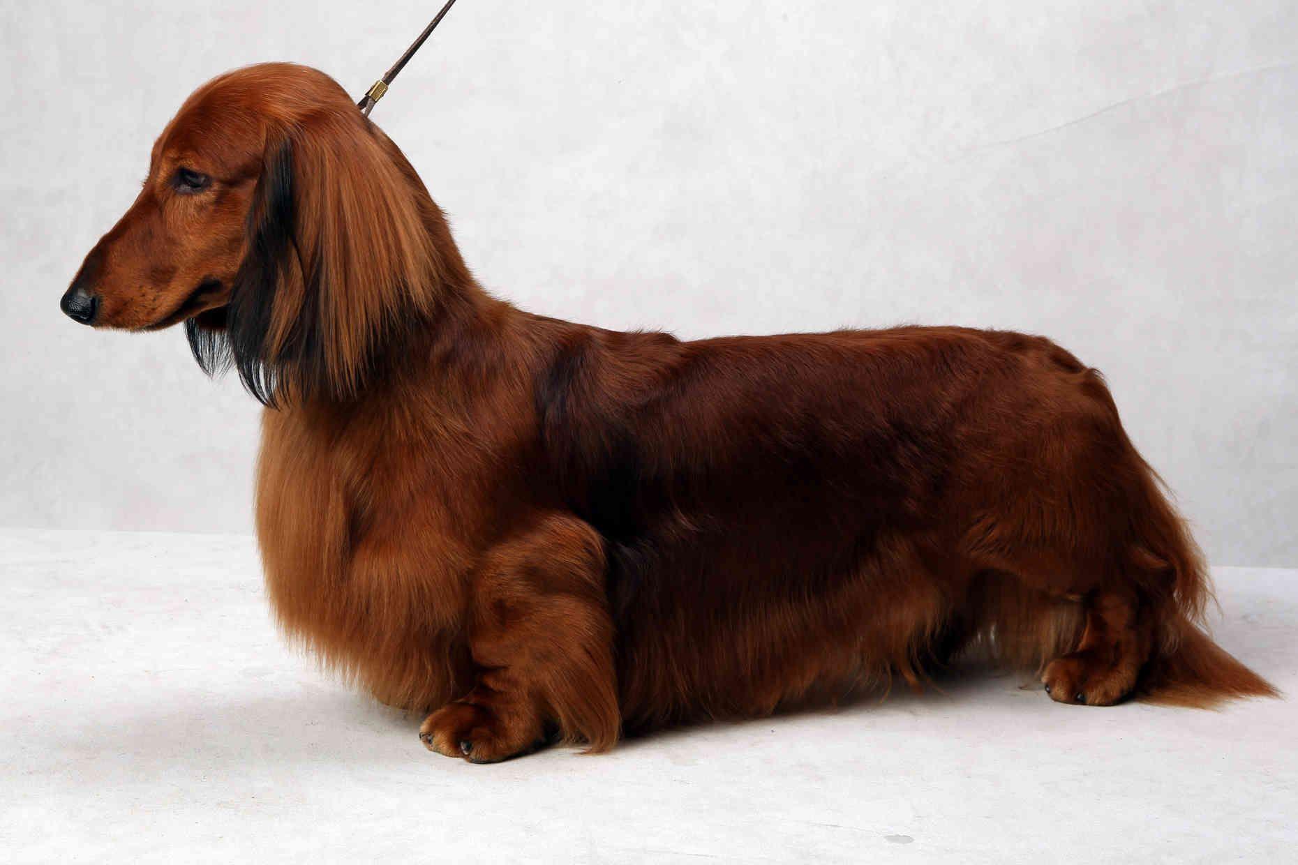 Westminster S Best Of Breed Westminster Dog Show Tiny Dog Breeds Best Dog Breeds