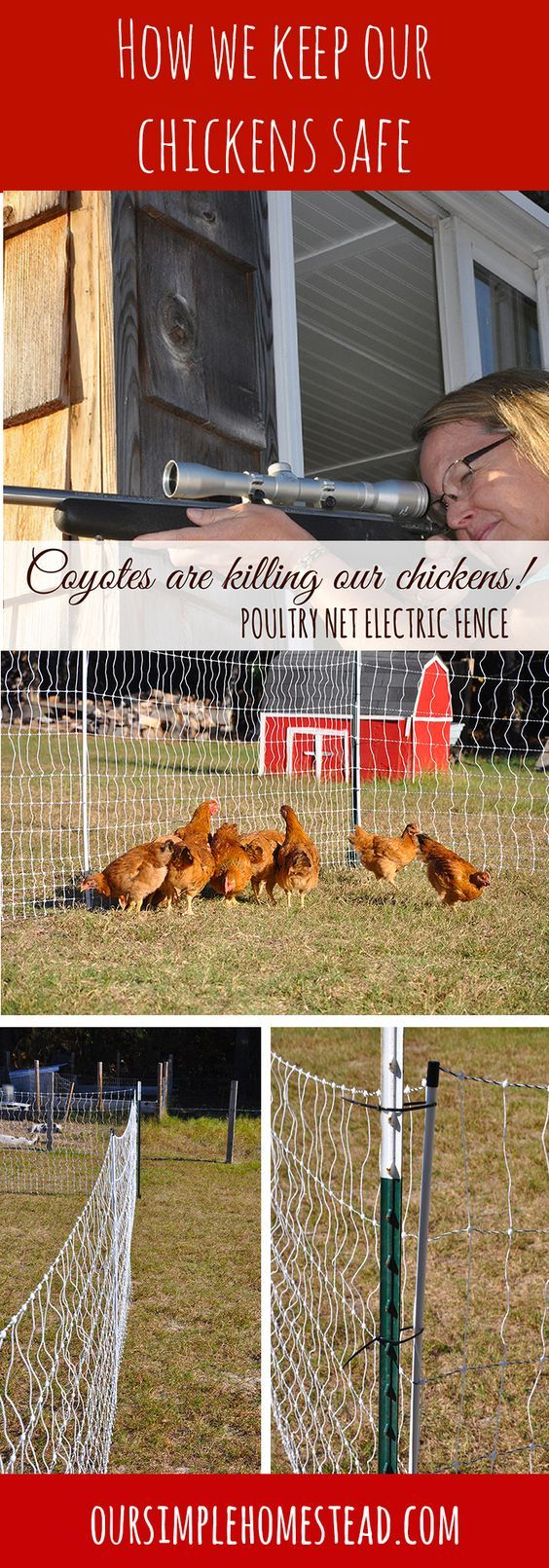 Electric Chicken Fence - Me and my 22 against the sneaky underhanded skill and agility of a pack of coyotes that have been stocking and feasting on our best backyard chickens. We needed to find an electric chicken fence to protect our valuable hens.