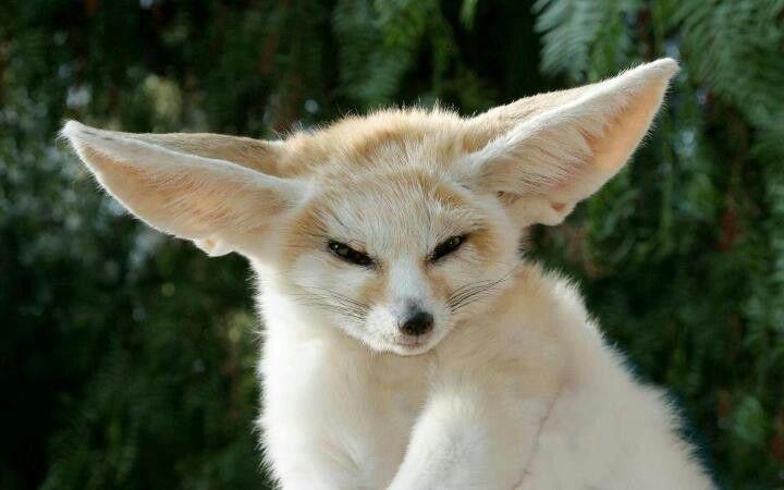 Fennec Fox by by Sadik Boujaida on 500px | Pet fox