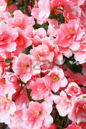 Blooming Pink Azalea Flowers Close Up Azalea Flower Pink Azaleas Flower Close Up