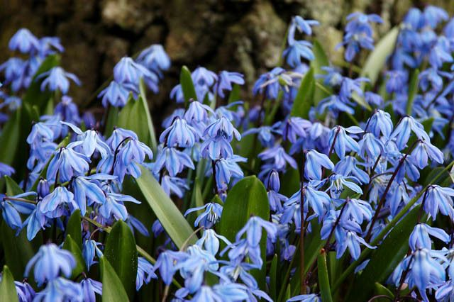 Scilla siberica siberian squill spring beauty bulbs design scilla siberica siberian squill spring beauty bulbs design spring bulbsearly spring flowers mid spring flowers blue flowers in spring mightylinksfo