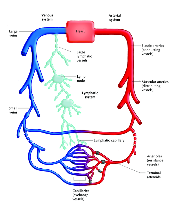 Diagnosis of | Lymph system, Lymphatic, Circulatory system