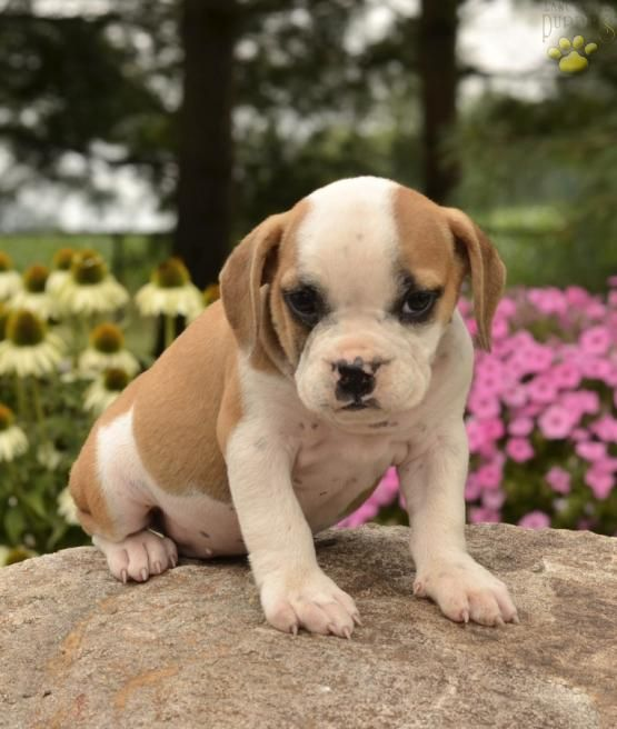 Ashley English Bulldog Hybrid Puppy For Sale In Greenwich Oh Lancaster Puppies Lancaster Puppies Puppies For Sale English Bulldog