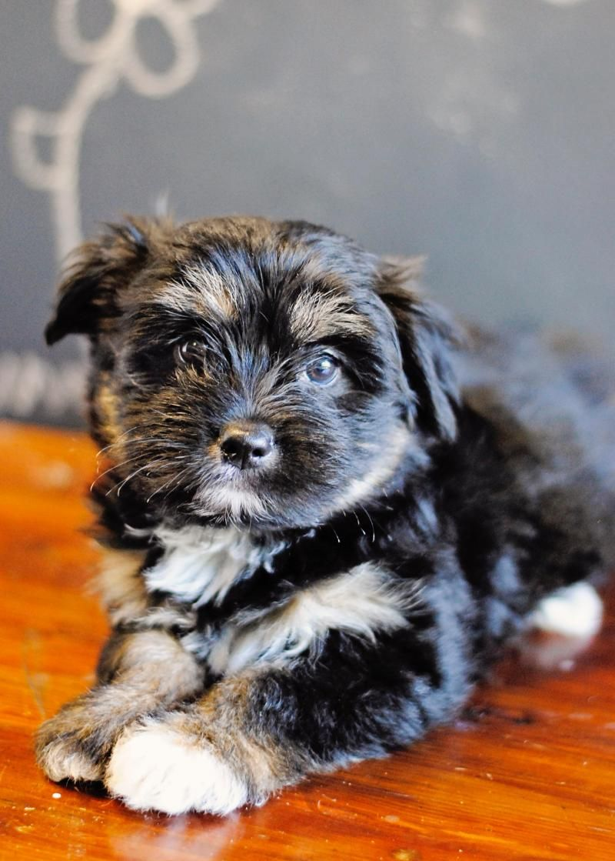 Adopt Scarlett on Canine, Shih tzu dog, Cute dogs