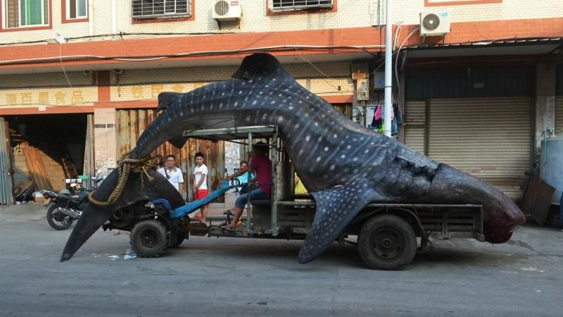Bon appetit......Walvishaai op Chinese vismarkt - NOS Nieuws