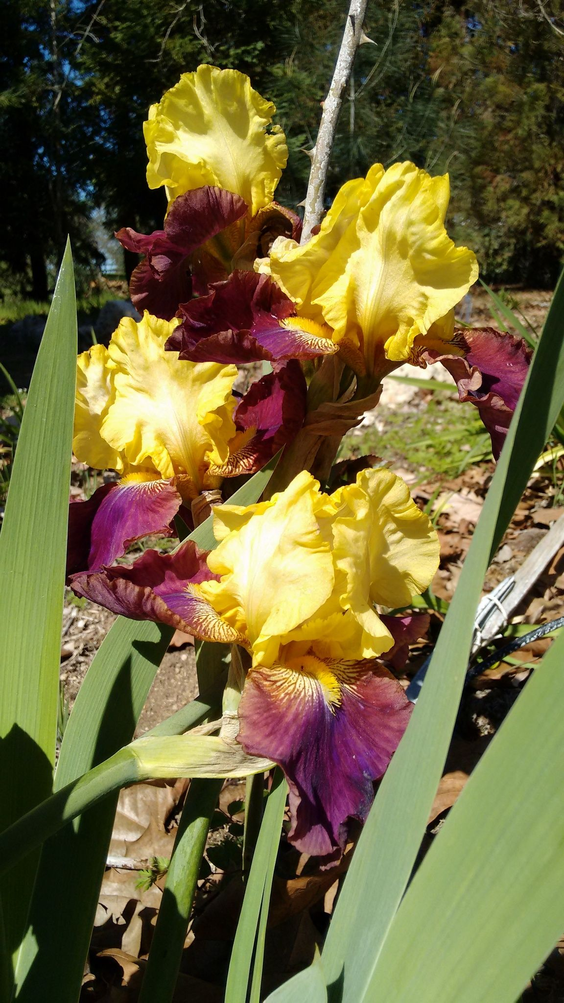 Blatant With Images Iris Garden Garden Plants